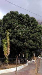 Mangueira,Frutas,Manga,Flora,Meio Ambiente