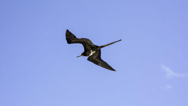 Crimes Ambientais,Brasil,Ilha de Trindade,Fauna,Aves,Ilha de Trindade,Fragatas