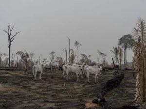 Pecuária,Desmatamento,Amazônia,Ambiente,Blog do Mesquita 01